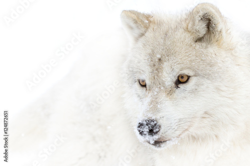 Arctic wolf closeup in winter - 124872651