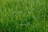 Fototapety Background of a green grass. Green grass texture