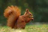 Wiewiórka (Sciurus vulgaris) - 124910487