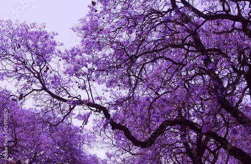 piekne-kwitnace-fioletowe-galezie-jacarandy-brooklyn-pretoria-wiosna-w-poludniowej-afryce-retusz-artystyczny