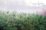 młode drzewka sosnowe we mgle - 124924856