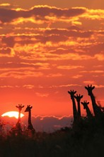 Giraffe - African Wildlife Background - Sunset Wonder