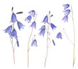 set of four blue forest isolated bellflowers