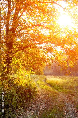 Fototapeta The road in the oak woods in autumn