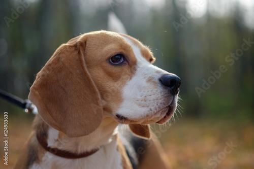 Poster, Tablou Портрет собаки породы бигль на прогулке в осеннем лесу с желтой листвой