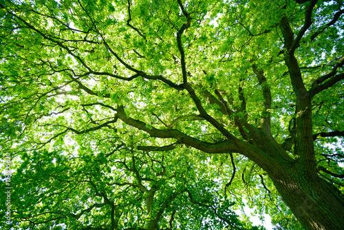 obraz lub plakat Blick in die grüne Baumkrone einer alten Eiche