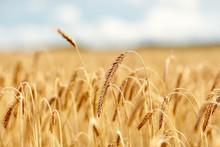 champ de céréales avec épillets de seigle ou de blé mûr