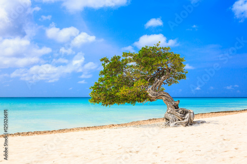 Poster Aruba, Netherlands Antilles. Divi divi tree on the beach