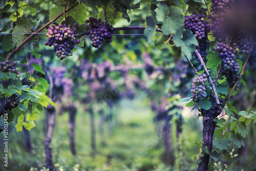 Tuinposter Aubergine Vineyard in Italy at sunset background