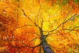 Fototapety Tree with colorful leafs in fall