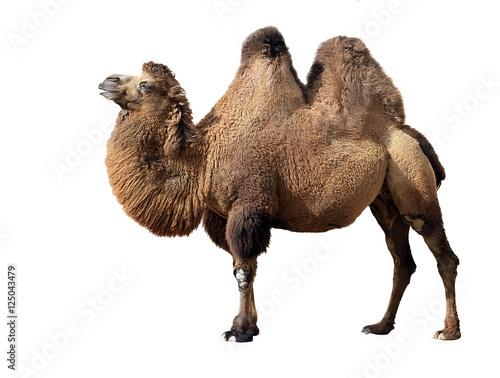 Bactrian camel - 125043479
