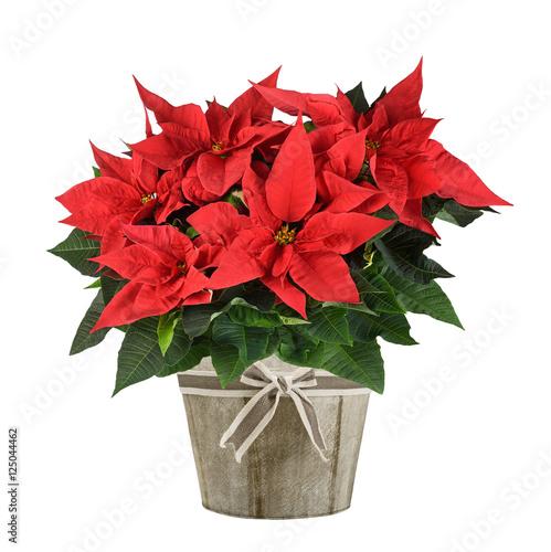 poinsettia plant - 125044462