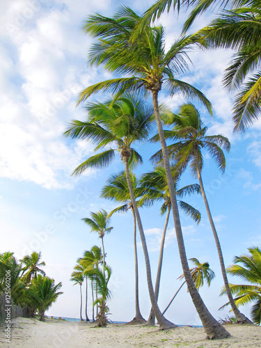 Fototapeta Coconut palms on sand beach in the Dominican Republic.