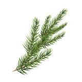 branch of pine tree. Spruce, pine, fir. Christmas tree. - 125096695