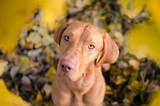 Hungarian hound dog in aoutumn