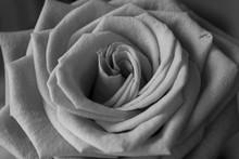 Détail de la photographie en noir et blanc de rose