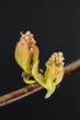 maple tree (Acer) flower buds