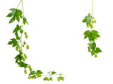 Background of two a hanging branches hops, forming a frame - 125182254