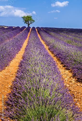 pola-lawendy-w-valensole-z-drzewami-oliwnymi-lato