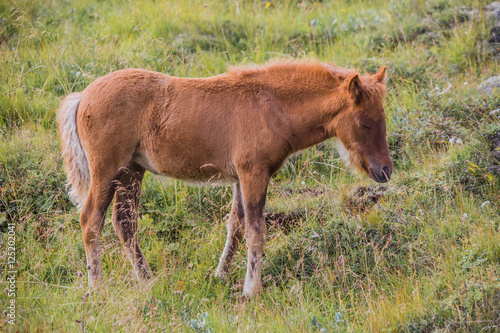 Poster Icelandic horse on a green field
