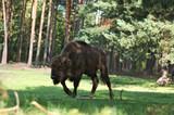 Bison bonasus Poland