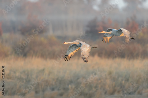 Pair of Sandhill Cranes in Flight in Front of a Foggy Sedge Marsh