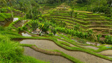 Green rice terraces in Bali island.
