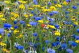 Scottish Cornflowers - 125259057