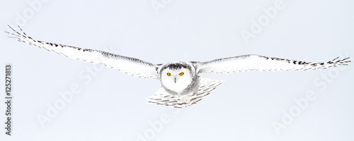 Snowy owl hunting over an open snowy field