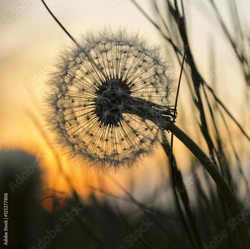 Pusteblume bei Sonnenuntergang - 125277806