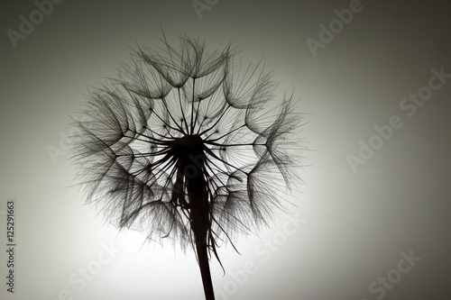 silhouette big dandelion on dark background - 125291663