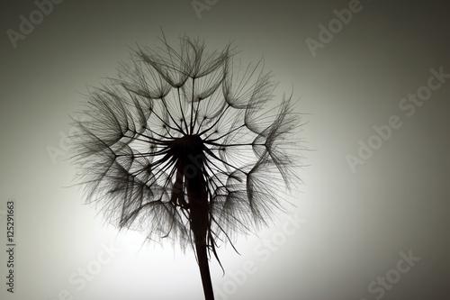 silhouette big dandelion on dark background - 125291663