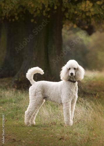 Fotografiet poodle