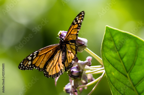Deurstickers Vlinder Monarchfalter (Danaus plexippus)