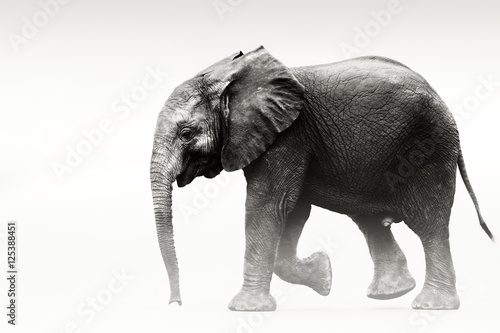 Elephant calf portrait. The calf was walking following the herd. Loxodonta africana - 125388451