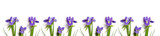 fresh burgundy irises