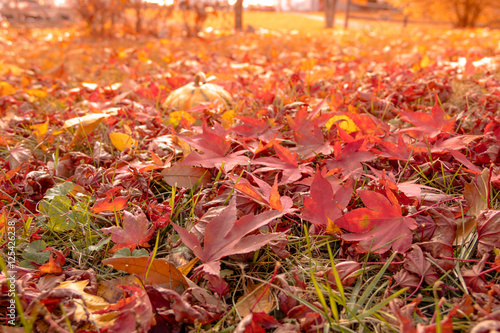 Papiers peints Orange eclat Colorful red maple leaves and oak leaves lie on the ground with back sunlight shining through in Autumn