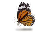 Butterflies, Plain Tiger Butterfly flying up (Danaus chrysippus,beautiful butterflies
