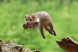 Jumping Stone Marten on the stump in czech forest