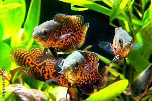 Tuinposter Koraalriffen Oscar fish