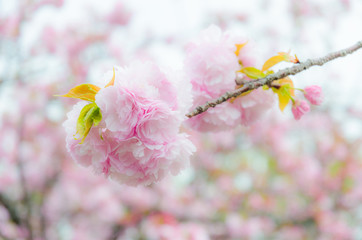 Japanese sakura cherry blossom with soft focus and color filter