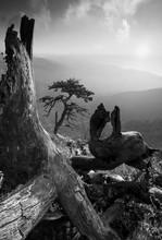 Pinetree sur une colline de monuntain. Noir et blanc
