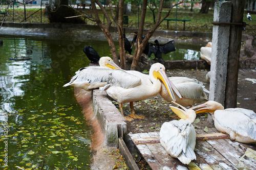 Fotobehang Beautiful white pelicans