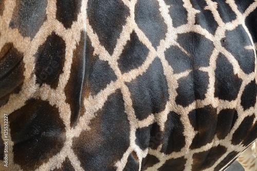Détail d'un corps de girafe Poster