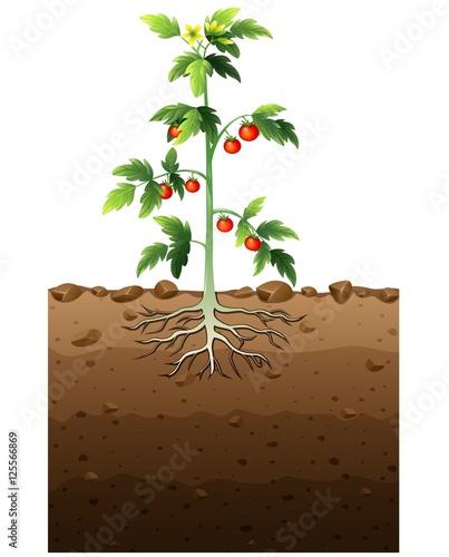 Foto op Aluminium Boerderij Tomatoes plant with root underground illustration