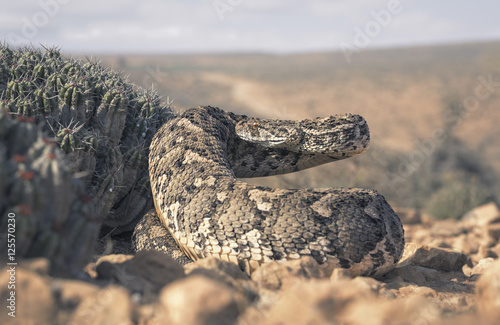 large puff adder (Bitis arietans) beside cactus in Morocco Poster