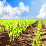 Young wheat seedlings growing in a soil. Agriculture and agronomy theme. Organic food produce on field. Natural background. - 125578603