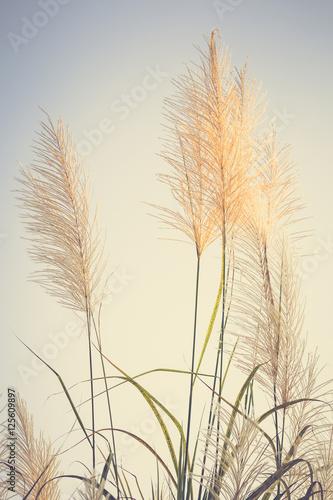 Fototapeta Vintage Reed