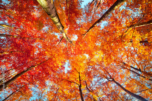 Bottom view of the tops of trees in the autumn forest. - 125611822