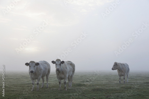 three white meat cows in early moring misty meadow in holland - 125620260
